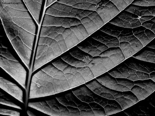 Leaf in black and white